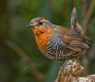 Pájaro chucao